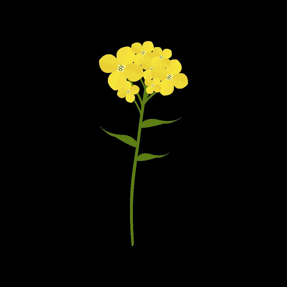 유채꽃 PNG
