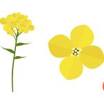 유채꽃 일러스트 이미지 디자인
